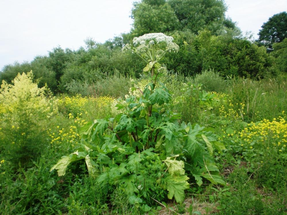 Veszélyes invazív gyomnövényt irtottak a Kiskunsági Nemzeti Park munkatársai