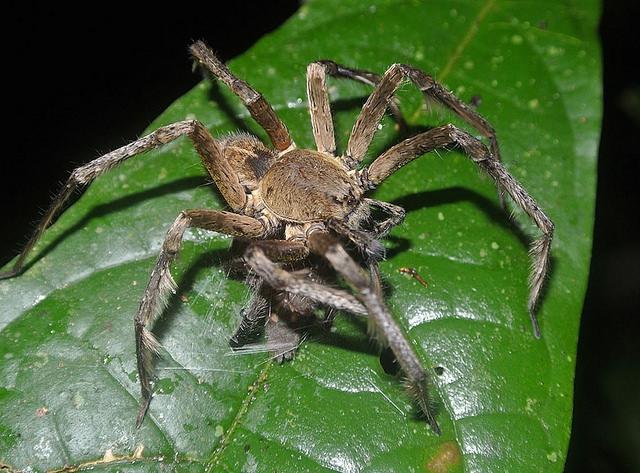 Pókméreggel kísérleteznek kutatók a merevedési zavar kezelésének érdekében