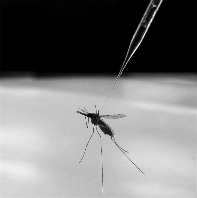 Új malária-kórokozó okoz riadalmat Afrikában