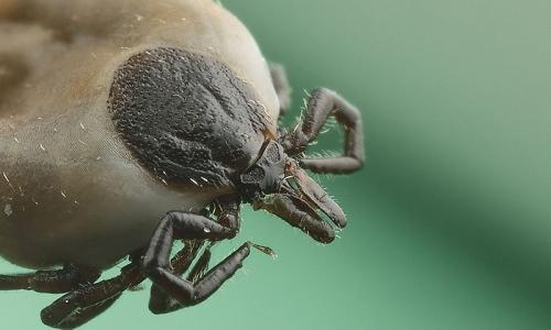 Kutatók azonosítottak egy fehérjét, amely véd a Lyme-kórtól
